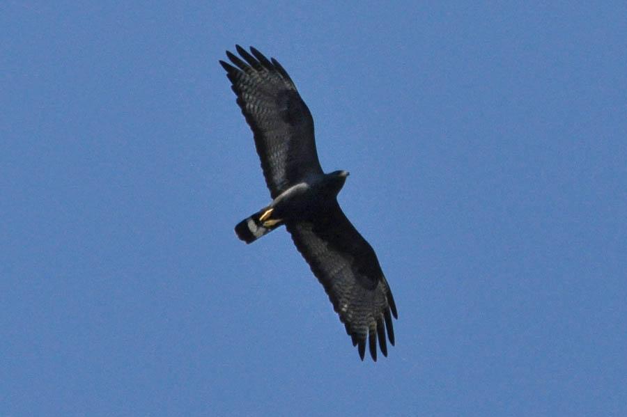 Zone-tailed Hawk (Buteo albonatus)