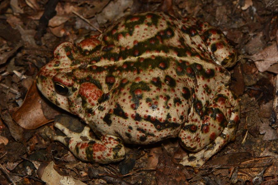 Boreal toad anaxyrus boreas sciox Image collections