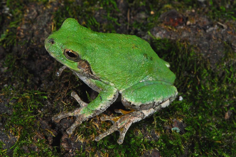 Cope S Gray Treefrog Hyla Chrysocelis