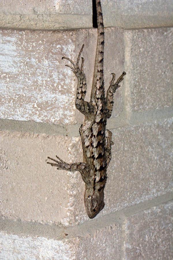 Texas Spiny Lizard Sceloporus Olivaceus
