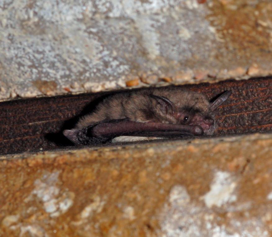 Cave Myotis Myotis Velifer